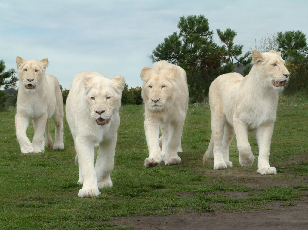 White Lion hd Photos 1024x765 - White lion
